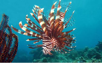 Lionfish, Philippines