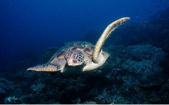 Turtle, Apo Island