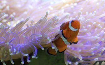 Clownfish, Australia