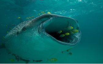 Whale Shark Feeding, Mafia Island