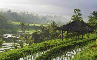 Ubud Rice Paddy, Bali