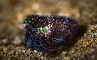 Bobtail Squid, Milne Bay