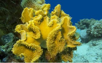 Yellow coral at Milne Bay
