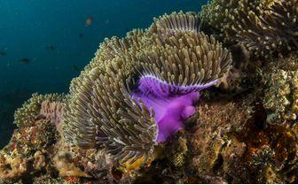 Colourful Anemone, Bazaruto Archipelago