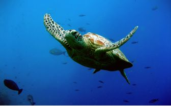 Turtle Swimming, Sipadan