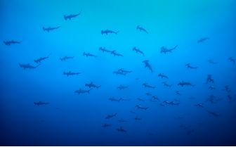 School of Hammerheads