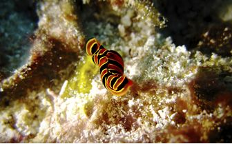 Nudibranch, Zanzibar