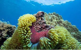 Colourful Sea Anemone, Northern Sulawesi
