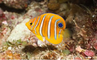 Juvenile Regal Angelfish, Bunaken
