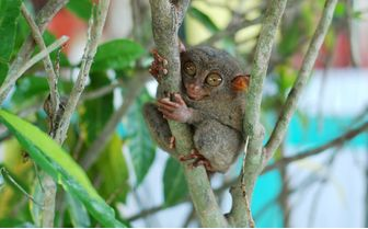 Tarsier in a tree, Philippines