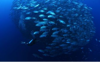 School of Jack Fish