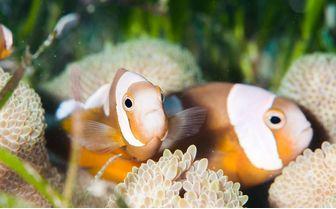 Clownfish, Bohol Island
