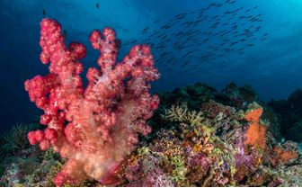 Colourful soft coral with fish