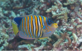Regal Angelfish, Philippines