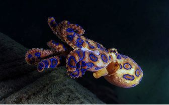 Blue Ringed Octopus, Philippines