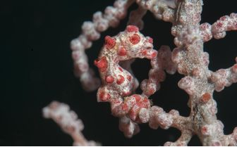 Pygmy Seahorse, Moalboal