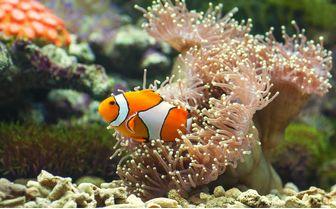 Clown fish close up