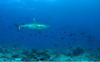 Whitetip Reef Shark, Central Atolls