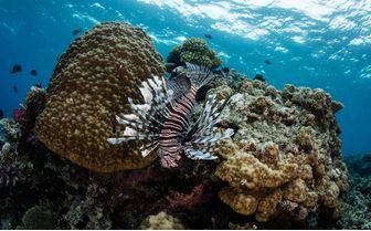 Lionfish. Beqa Lagoon, Fiji