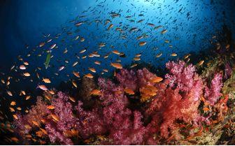 Soft Coral and fish, Fiji