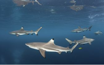 Black Tip Reef Sharks, New Britain