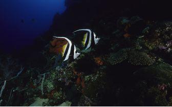 Tropical fish at Kimbe Bay, New Britain