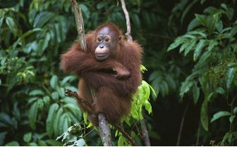 Orangutan in tree, Borneo