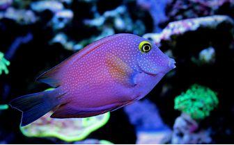 Kole Tan Fish, Maldives