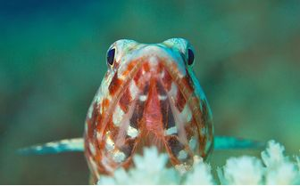 close up of a goby