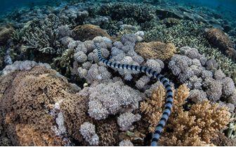 banded sea snake coral reef