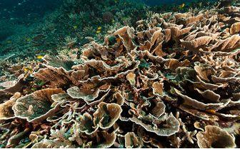 hard coral diving pantar island