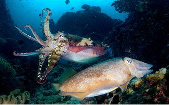 cuttlefish breeding