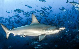 a lone hammerhead shark