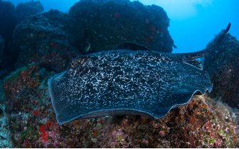 marbled sting ray