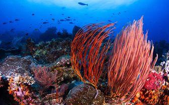 Gorgonians coral