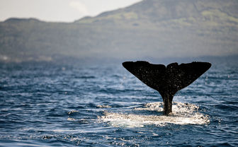 Whale in the Azores