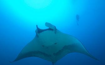 Manta ray in the Azores