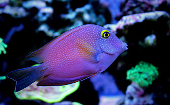 Kole Tang fish