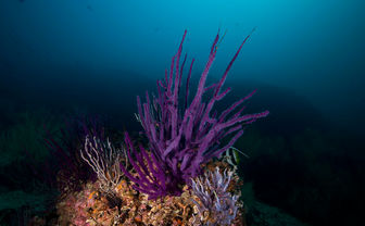 Colourful purple soft corals