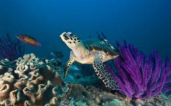 Hawksbill turtle, Oman