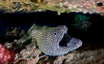 Moray Eel, Daymaniat Islands