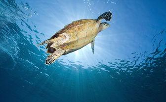 Indonesia turtle