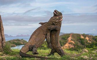 Komodo dragons, Indonesia