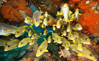 Yellow sweetlips