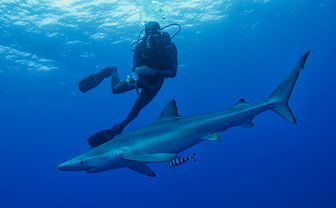 Diving with a blue shark