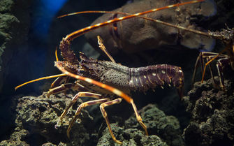 A lobster underwater in the Azores