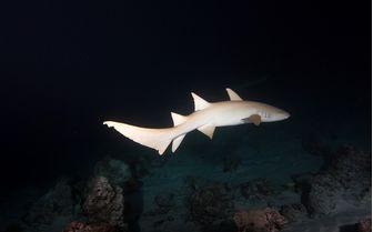 nurse shark night dive