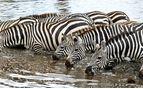 Zebra Drinking, Tanzania