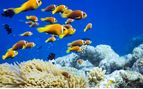 Swimming Clown Fish, Maldives