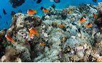 Clown fish swimming around coral